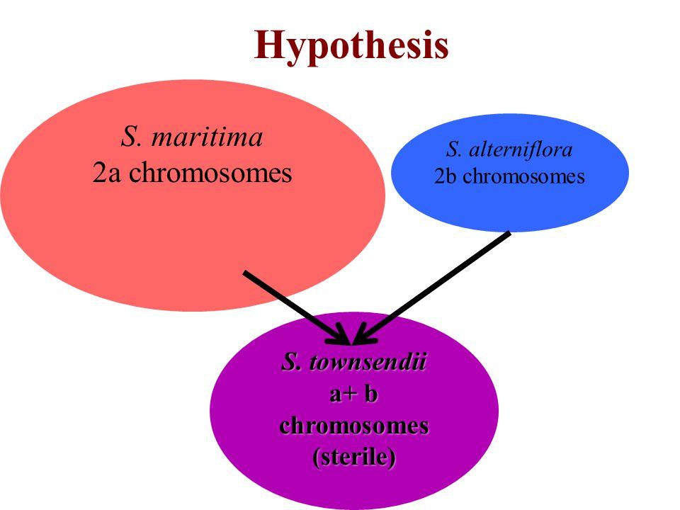 Hypothesis S. maritima 2a chromosomes S. alterniflora 2b chromosomes S. townsendii a+ b chromosomes (sterile)