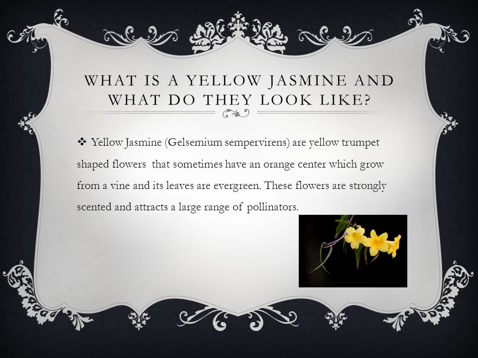 WHAT IS A YELLOW JASMINE AND WHAT DO THEY LOOK LIKE.