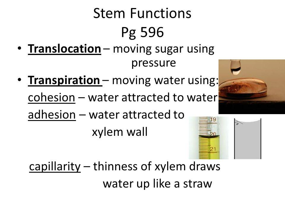 Stem Functions Pg 596 Translocation – moving sugar using pressure Transpiration – moving water using: cohesion – water attracted to water adhesion – water attracted to xylem wall capillarity – thinness of xylem draws water up like a straw