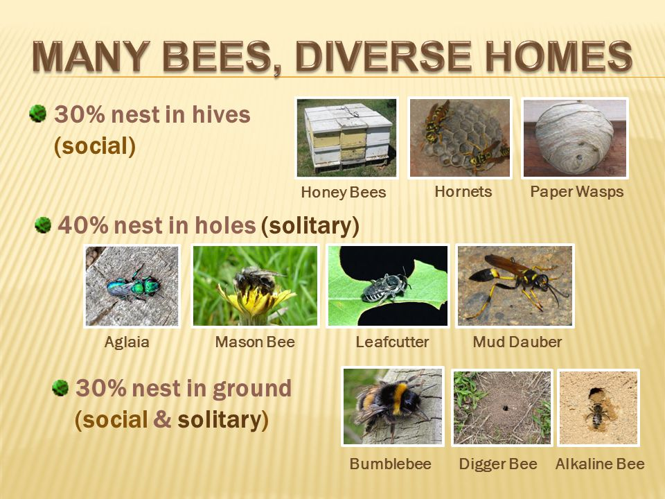 30% nest in hives (social) Aglaia Mason Bee Leafcutter Mud Dauber Bumblebee Digger Bee Alkaline Bee Honey Bees HornetsPaper Wasps 30% nest in ground (social & solitary) 40% nest in holes (solitary)