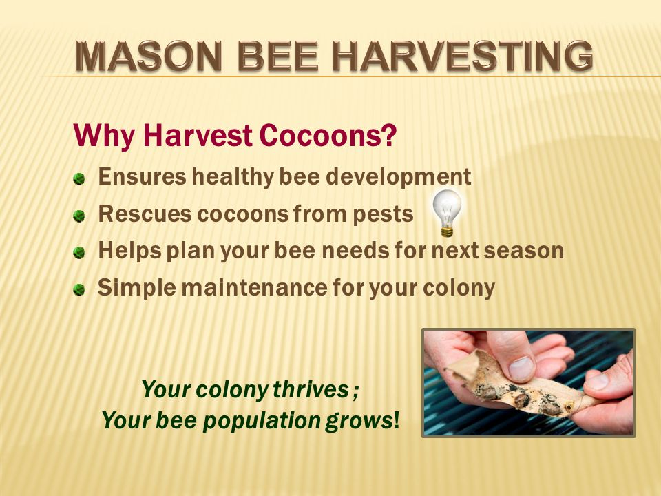 Why Harvest Cocoons.