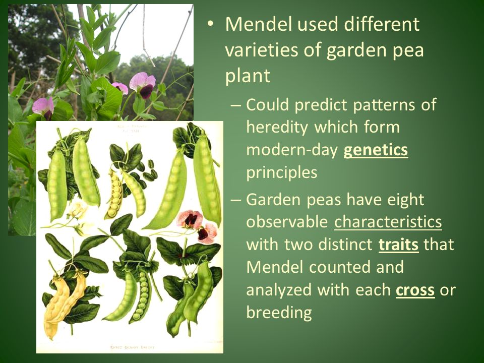 Mendel used different varieties of garden pea plant – Could predict patterns of heredity which form modern-day genetics principles – Garden peas have