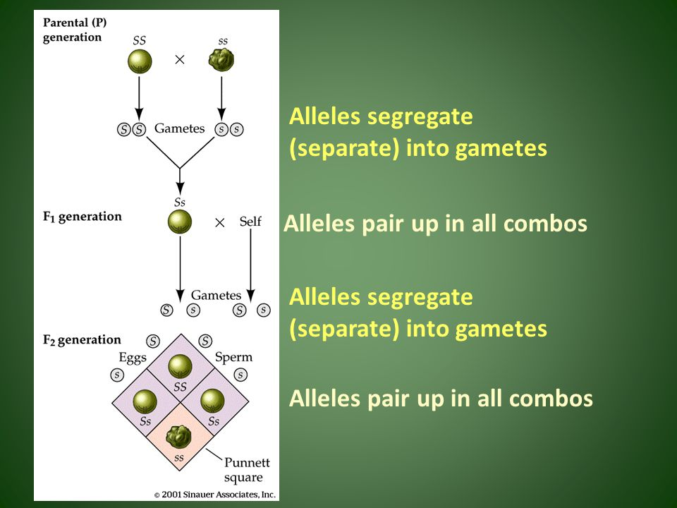 Alleles pair up in all combos Alleles segregate (separate) into gametes Alleles pair up in all combos