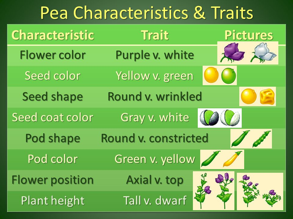 Have to analyze findings from crossings – Genotypic ratio: – Phenotypic ratio: Y Y y y Yy 4 Yy 4 yellow peas