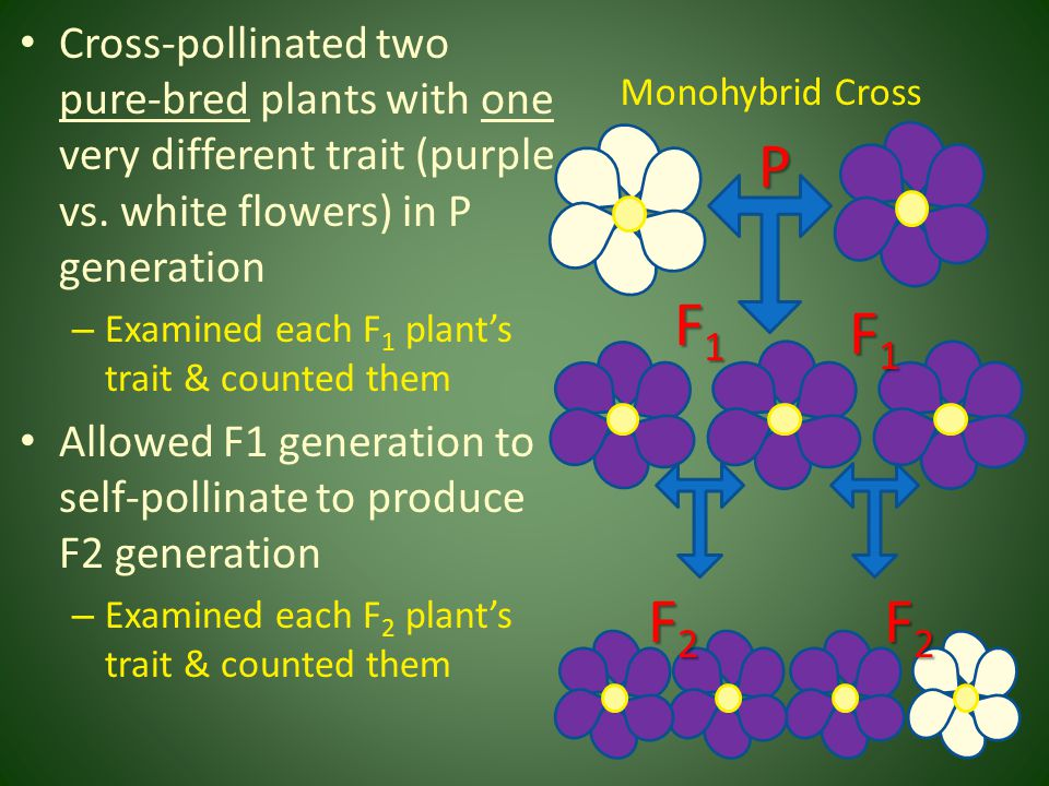 Mendel collected tons of data – his results are reproducible – Monohybrid cross of white flowers and purple flowers in P generation produced 100% purple flowers in F 1 generation – Self-pollination of F 1 produced 705 purple flowers & 224 white flowers in F 2 generation F1F1F1F1 P F2F2F2F2
