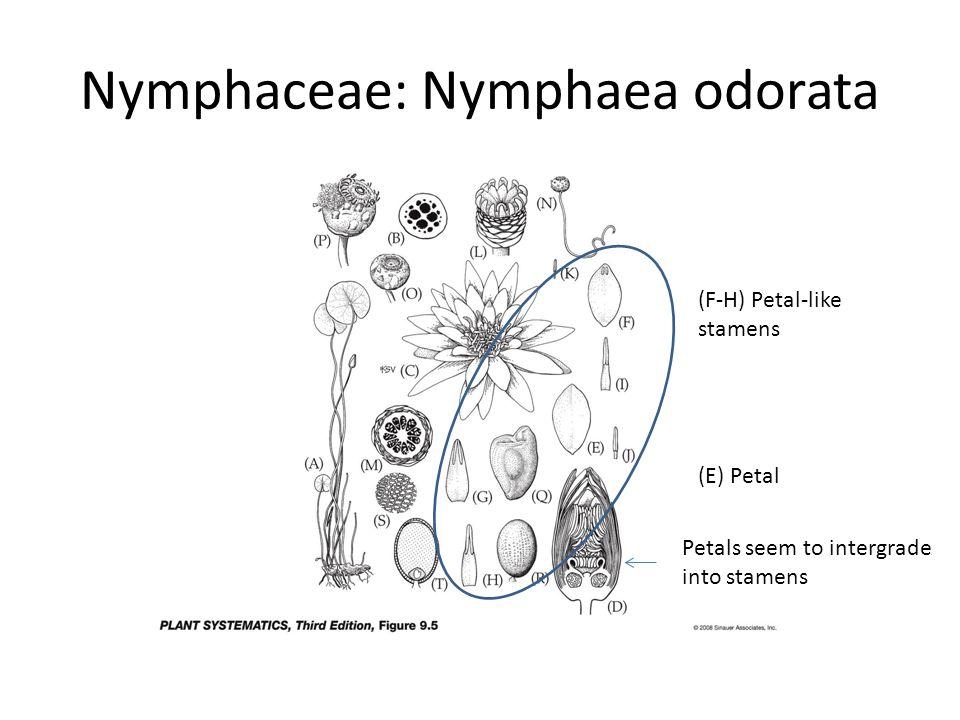 Nymphaceae: Nymphaea odorata (F-H) Petal-like stamens (E) Petal Petals seem to intergrade into stamens