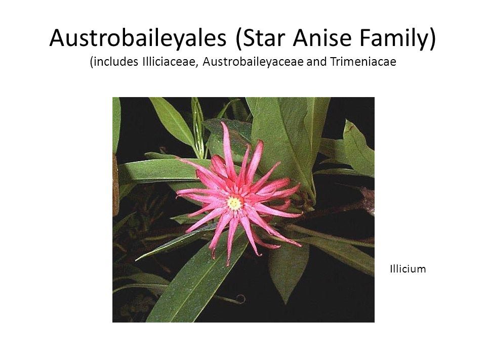 Austrobaileyales (Star Anise Family) (includes Illiciaceae, Austrobaileyaceae and Trimeniacae Illicium