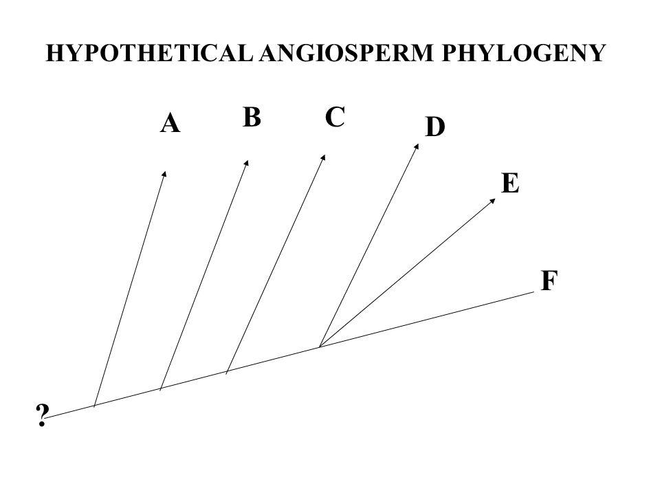 A BC D E F HYPOTHETICAL ANGIOSPERM PHYLOGENY