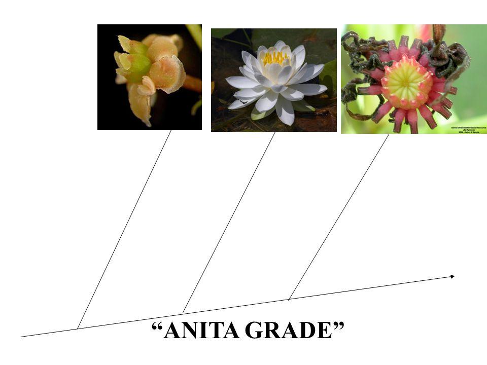 ANITA GRADE