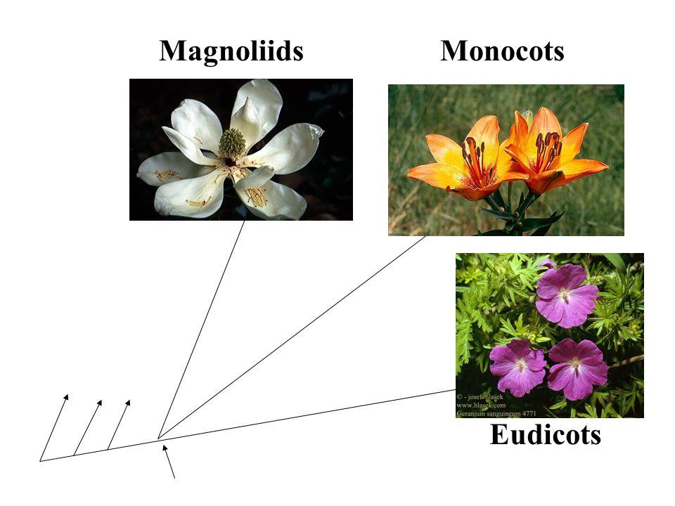 Eudicots MonocotsMagnoliids