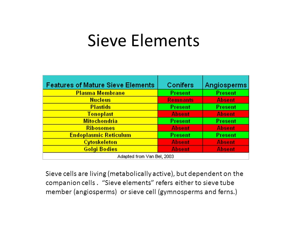 Sieve cells are living (metabolically active), but dependent on the companion cells.
