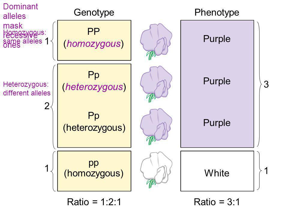 GenotypePhenotype Purple White PP Pp pp (homozygous) (heterozygous) (homozygous) 1 1 2 3 1 Ratio = 1:2:1Ratio = 3:1 Dominant alleles mask recessive on