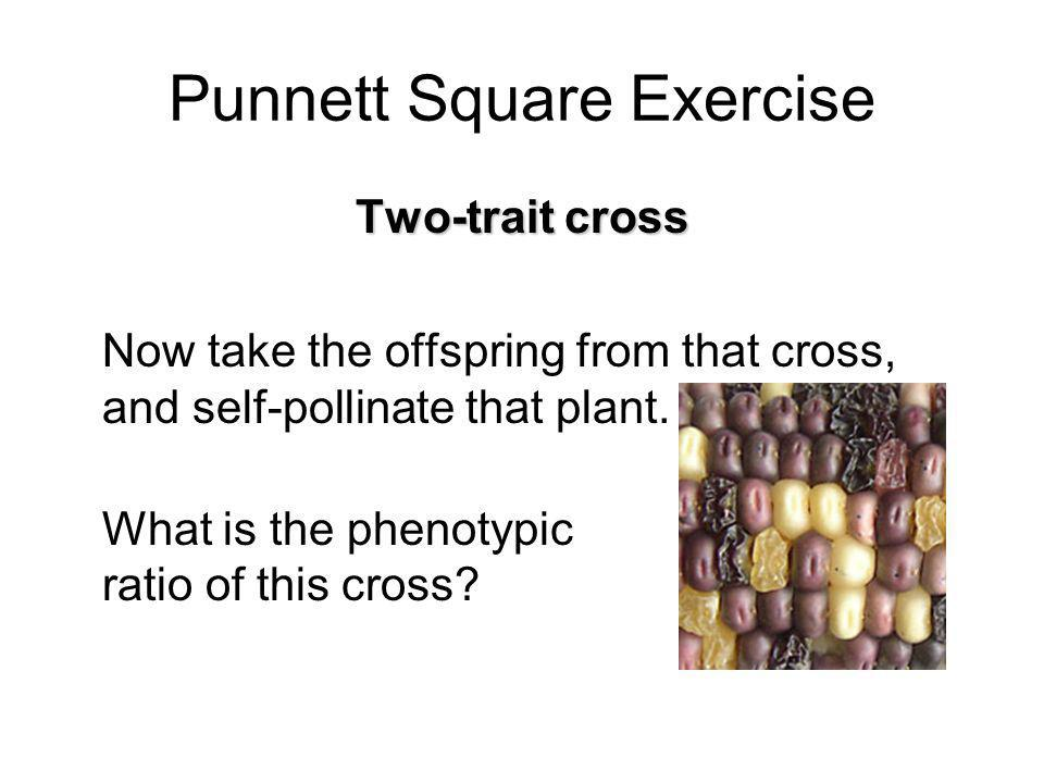 Punnett Square Exercise Two-trait cross Now take the offspring from that cross, and self-pollinate that plant. What is the phenotypic ratio of this cr