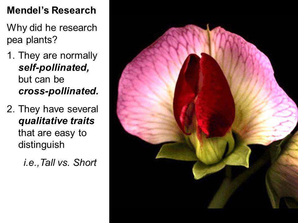 CharacterDominant TraitRecessive Trait Flower Color Flower Position Seed Color Seed Shape Pod Shape Pod Color Stem Length PurpleWhite SideTop YellowGr