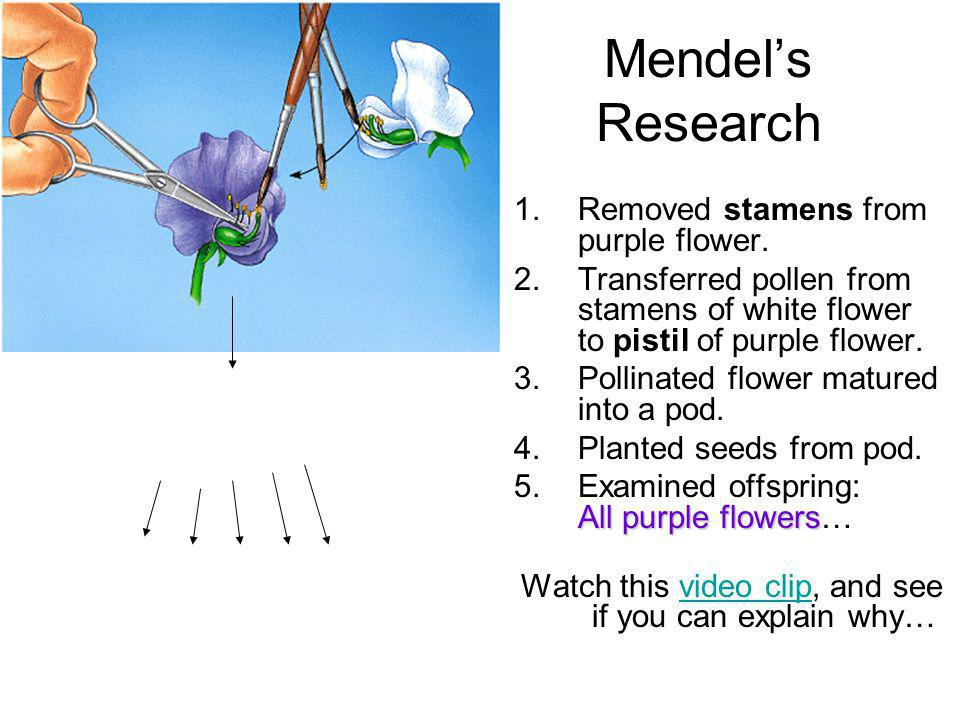 Mendels Research 1.Removed stamens from purple flower. 2.Transferred pollen from stamens of white flower to pistil of purple flower. 3.Pollinated flow