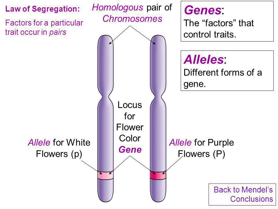 Homologous pair of Chromosomes Locus for Flower Color Gene Allele for White Flowers (p) Allele for Purple Flowers (P) Law of Segregation: Factors for