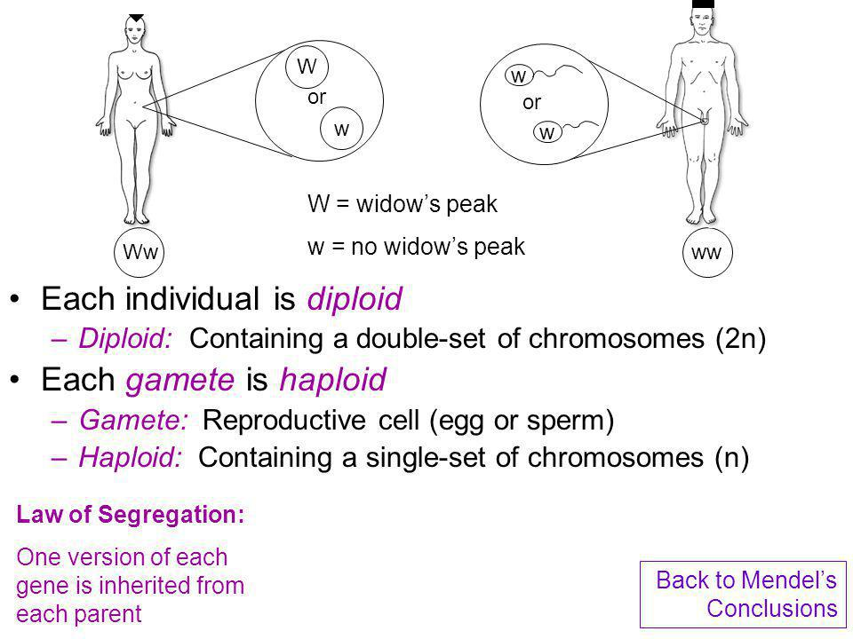 Each individual is diploid –Diploid: Containing a double-set of chromosomes (2n) Each gamete is haploid –Gamete: Reproductive cell (egg or sperm) –Hap