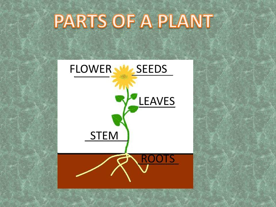 ____________ FLOWERSEEDS LEAVES STEM ROOTS