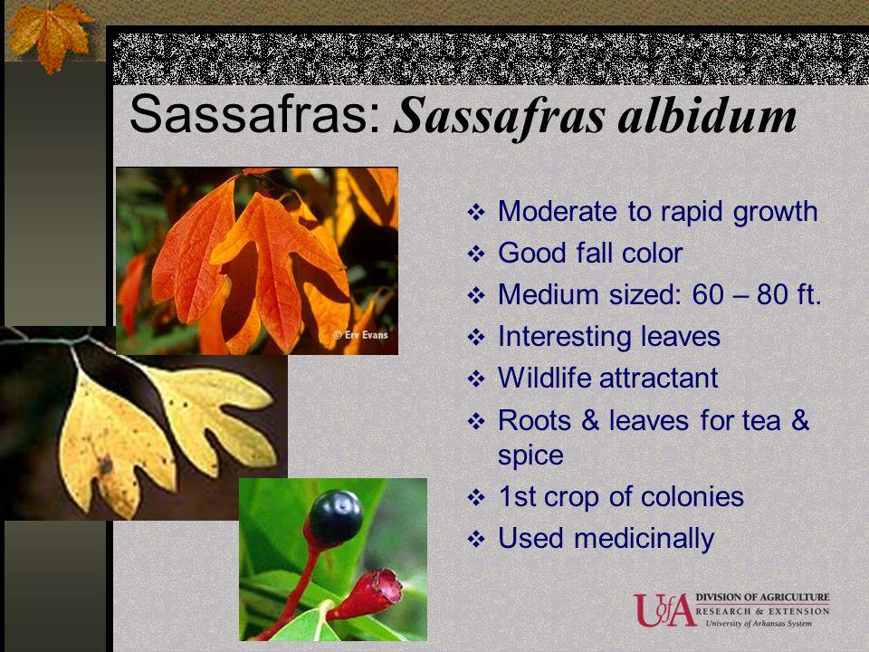 Sassafras: Sassafras albidum Moderate to rapid growth Good fall color Medium sized: 60 – 80 ft. Interesting leaves Wildlife attractant Roots & leaves