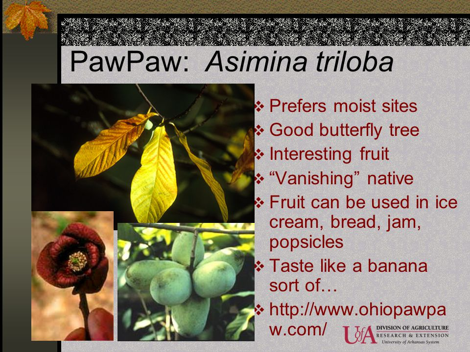 PawPaw: Asimina triloba Prefers moist sites Good butterfly tree Interesting fruit Vanishing native Fruit can be used in ice cream, bread, jam, popsicl