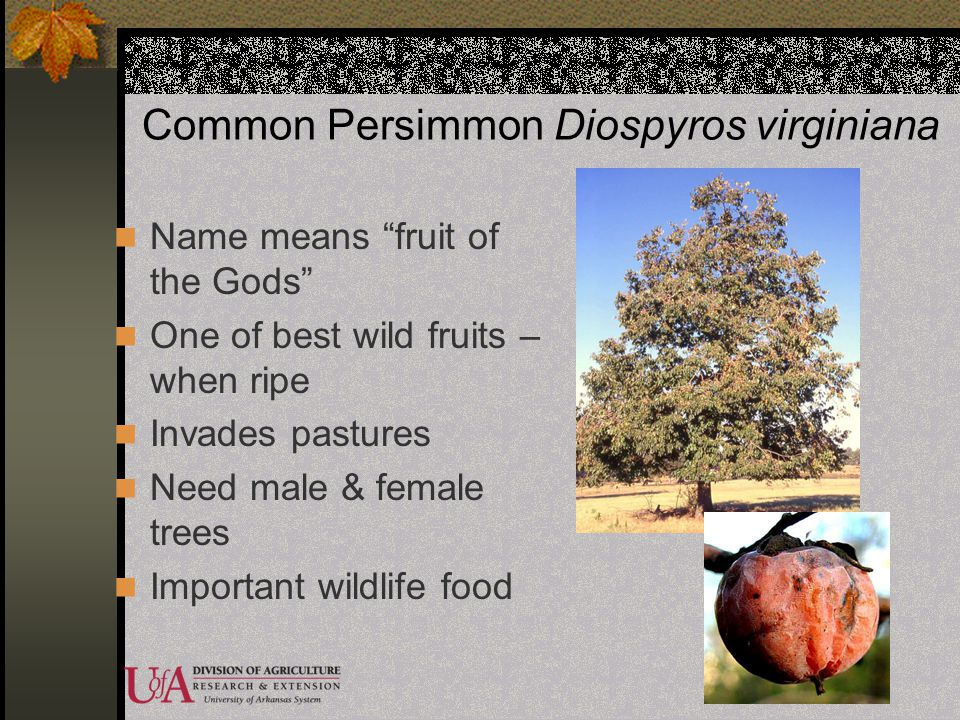 Common Persimmon Diospyros virginiana Name means fruit of the Gods One of best wild fruits – when ripe Invades pastures Need male & female trees Impor