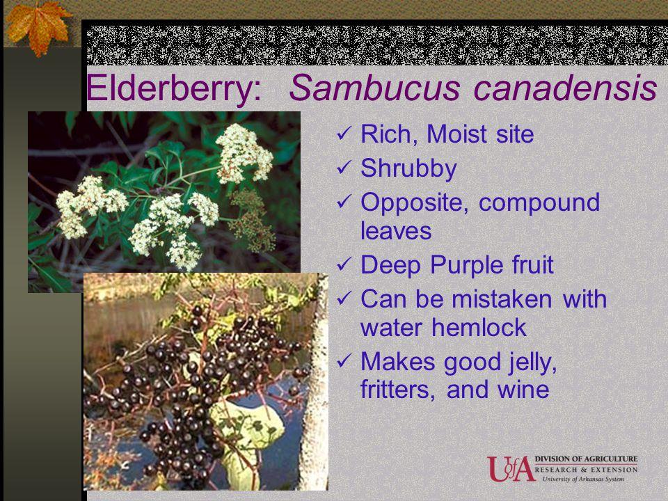 Elderberry: Sambucus canadensis Rich, Moist site Shrubby Opposite, compound leaves Deep Purple fruit Can be mistaken with water hemlock Makes good jel