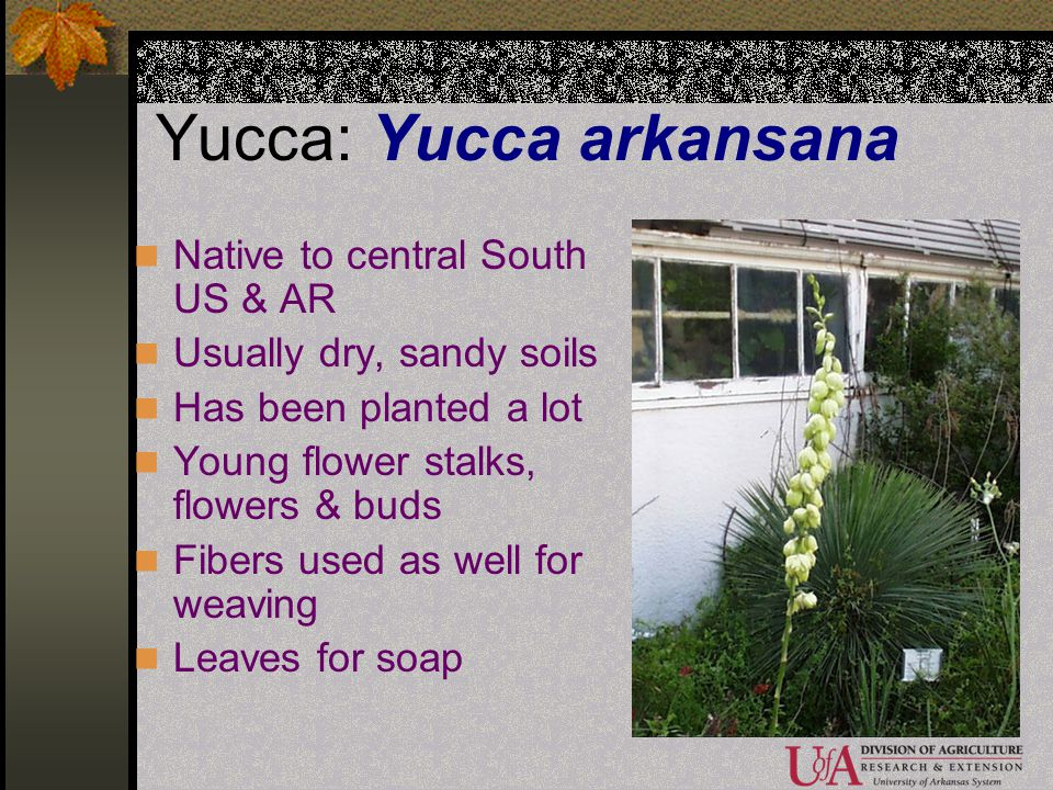 Yucca: Yucca arkansana Native to central South US & AR Usually dry, sandy soils Has been planted a lot Young flower stalks, flowers & buds Fibers used