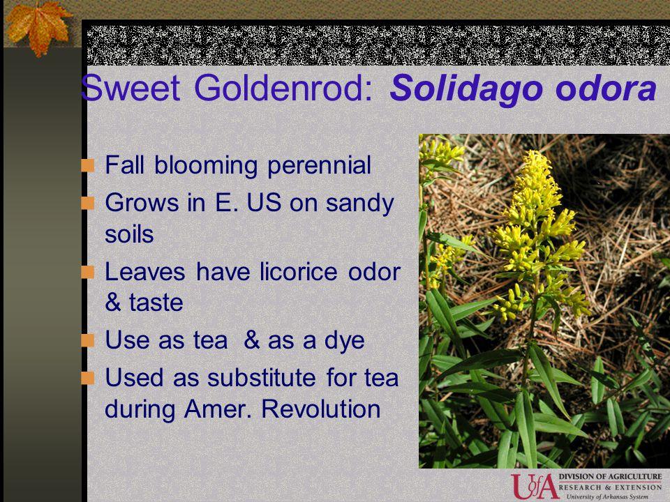 Sweet Goldenrod: Solidago odora Fall blooming perennial Grows in E. US on sandy soils Leaves have licorice odor & taste Use as tea & as a dye Used as