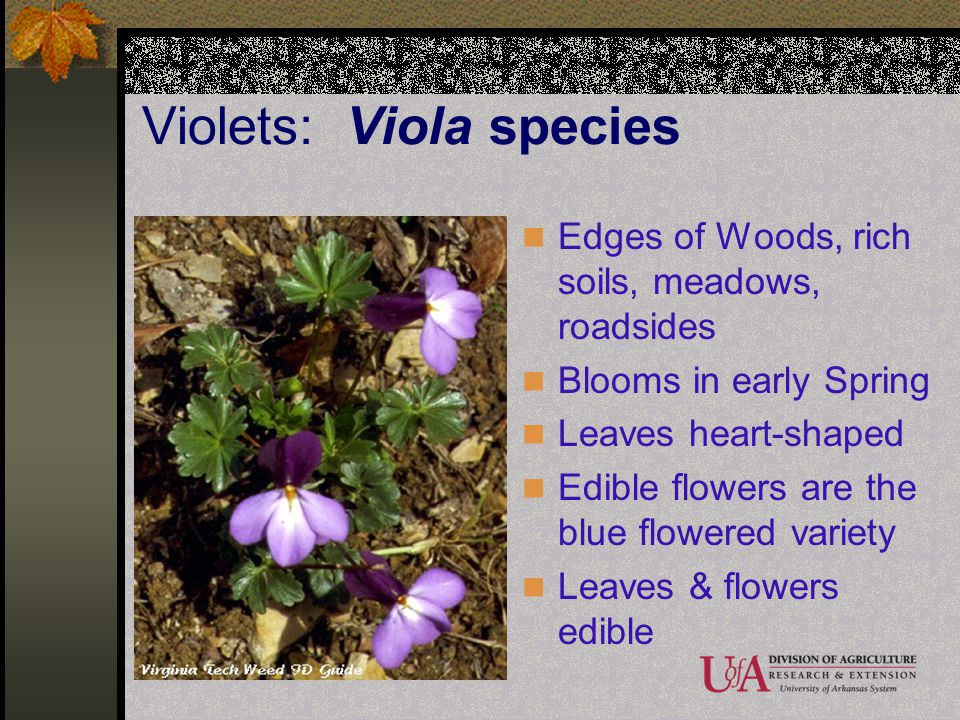 Violets: Viola species Edges of Woods, rich soils, meadows, roadsides Blooms in early Spring Leaves heart-shaped Edible flowers are the blue flowered