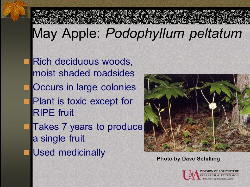 May Apple: Podophyllum peltatum Rich deciduous woods, moist shaded roadsides Occurs in large colonies Plant is toxic except for RIPE fruit Takes 7 yea