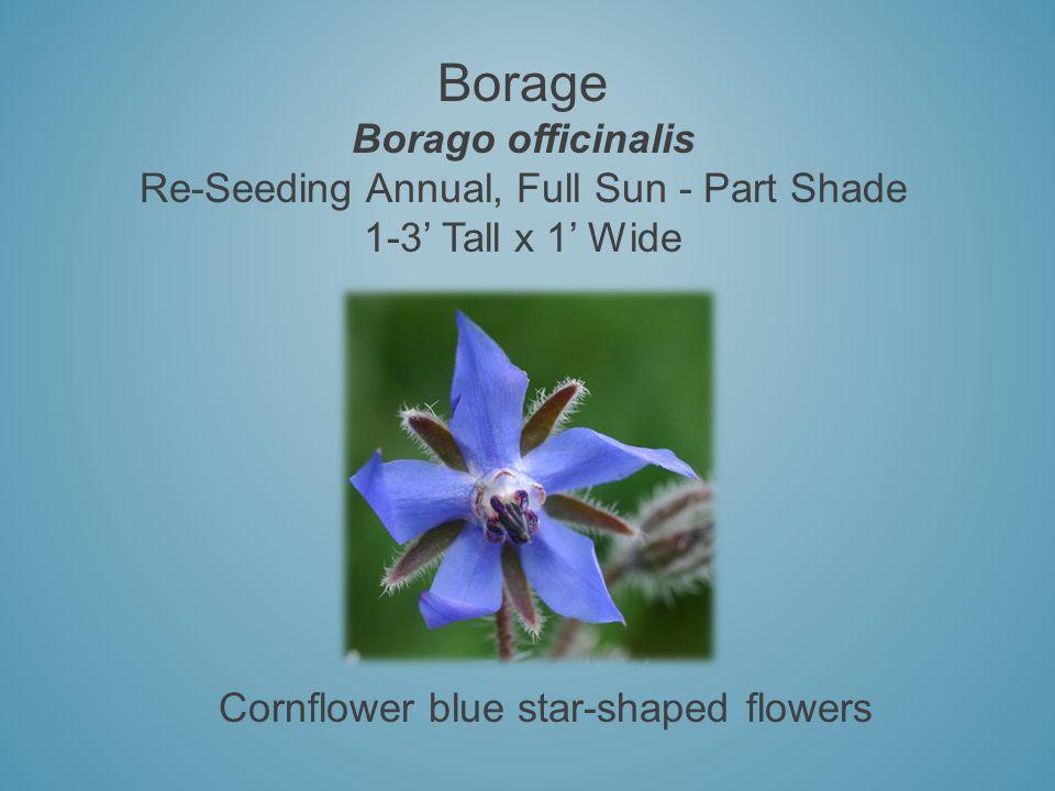 Borage Borago officinalis Re-Seeding Annual, Full Sun - Part Shade 1-3 Tall x 1 Wide Cornflower blue star-shaped flowers