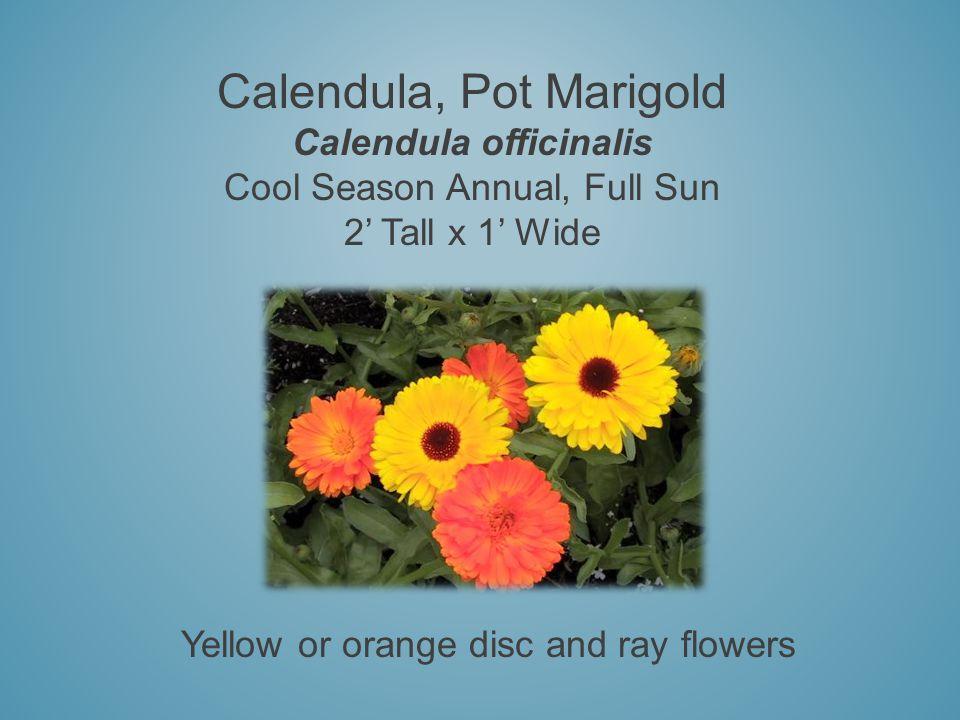 Calendula, Pot Marigold Calendula officinalis Cool Season Annual, Full Sun 2 Tall x 1 Wide Yellow or orange disc and ray flowers