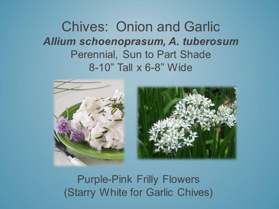 Chives: Onion and Garlic Allium schoenoprasum, A.