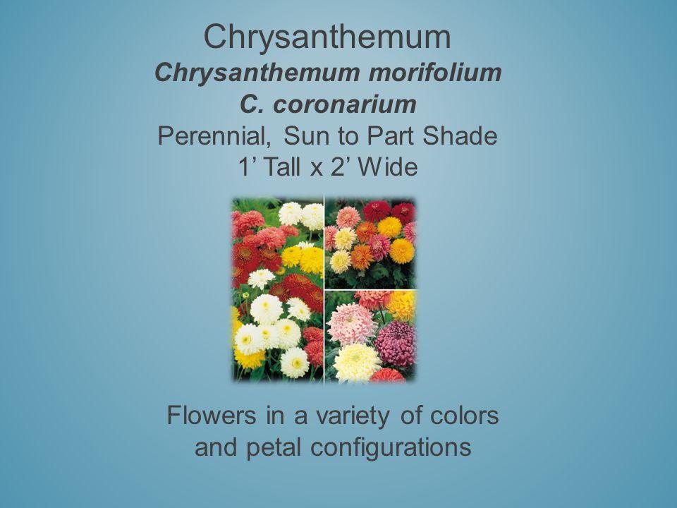 Chrysanthemum Chrysanthemum morifolium C. coronarium Perennial, Sun to Part Shade 1 Tall x 2 Wide Flowers in a variety of colors and petal configurati