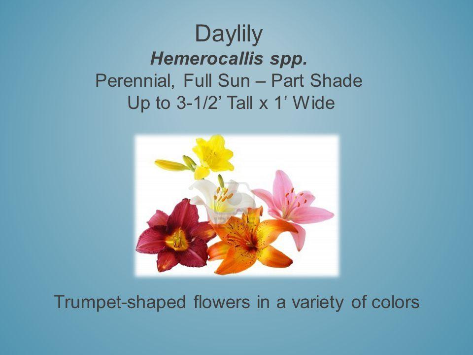 Daylily Hemerocallis spp.