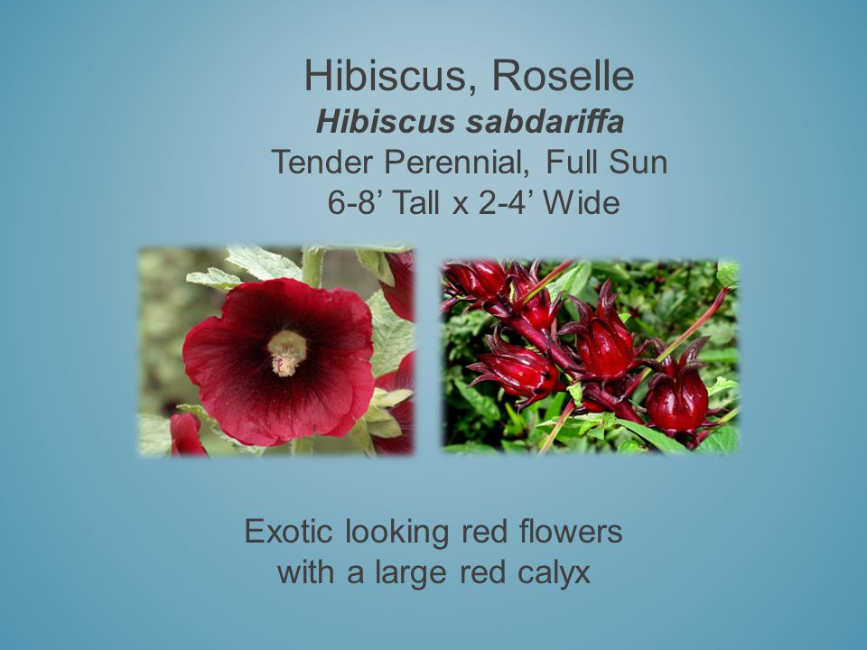 Hibiscus, Roselle Hibiscus sabdariffa Tender Perennial, Full Sun 6-8 Tall x 2-4 Wide Exotic looking red flowers with a large red calyx