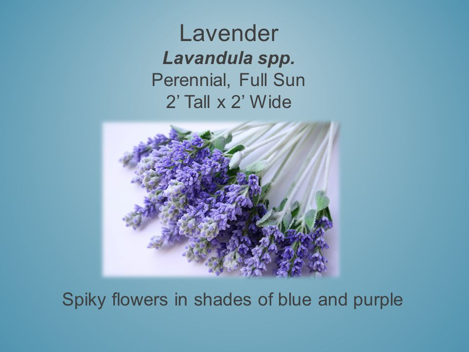 Lavender Lavandula spp. Perennial, Full Sun 2 Tall x 2 Wide Spiky flowers in shades of blue and purple