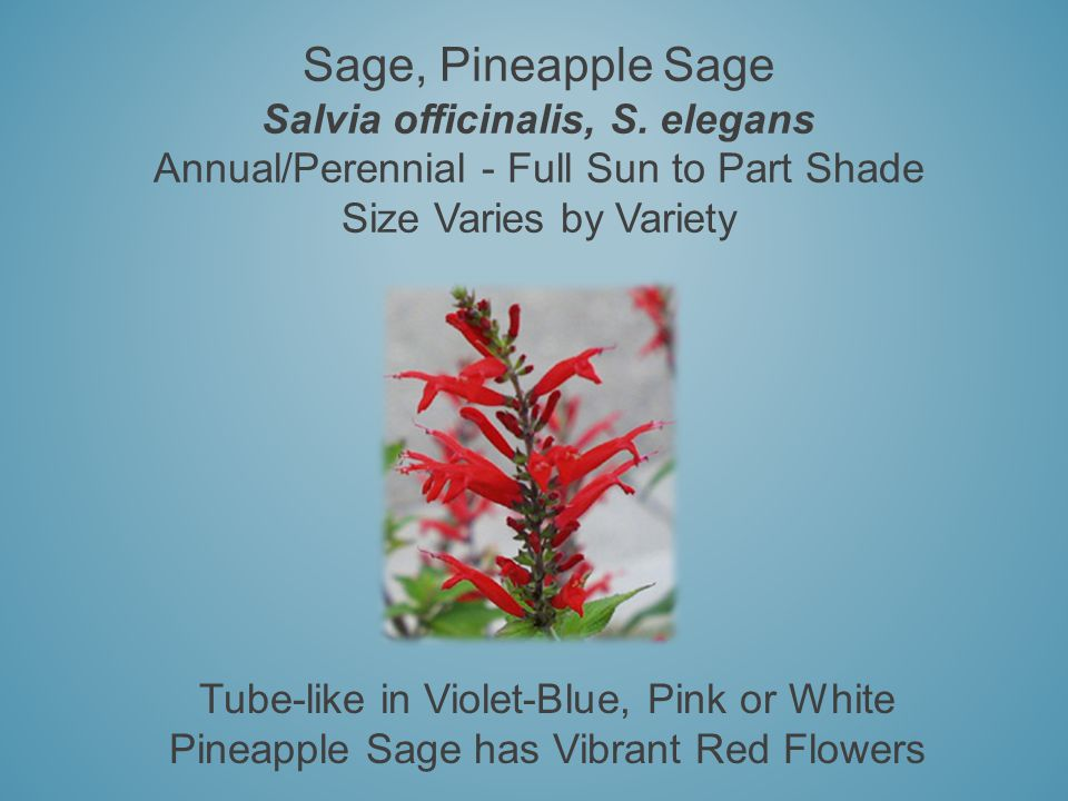 Sage, Pineapple Sage Salvia officinalis, S. elegans Annual/Perennial - Full Sun to Part Shade Size Varies by Variety Tube-like in Violet-Blue, Pink or