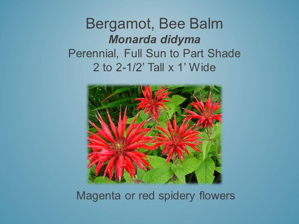 Bergamot, Bee Balm Monarda didyma Perennial, Full Sun to Part Shade 2 to 2-1/2 Tall x 1 Wide Magenta or red spidery flowers