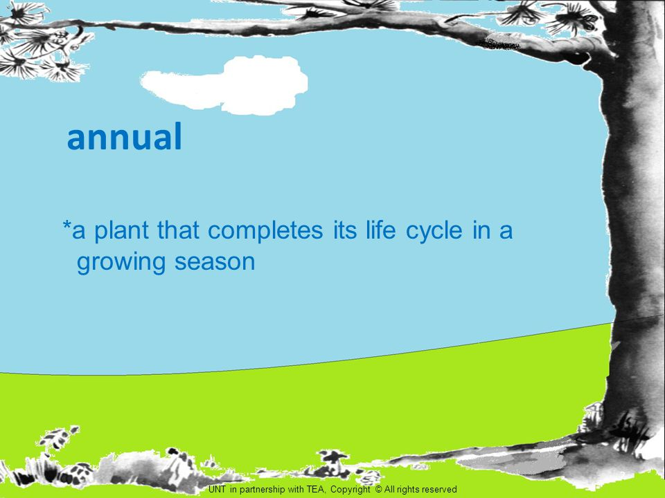 perennial *a plant that lives more than two growing seasons UNT in partnership with TEA, Copyright All rights reserved 13