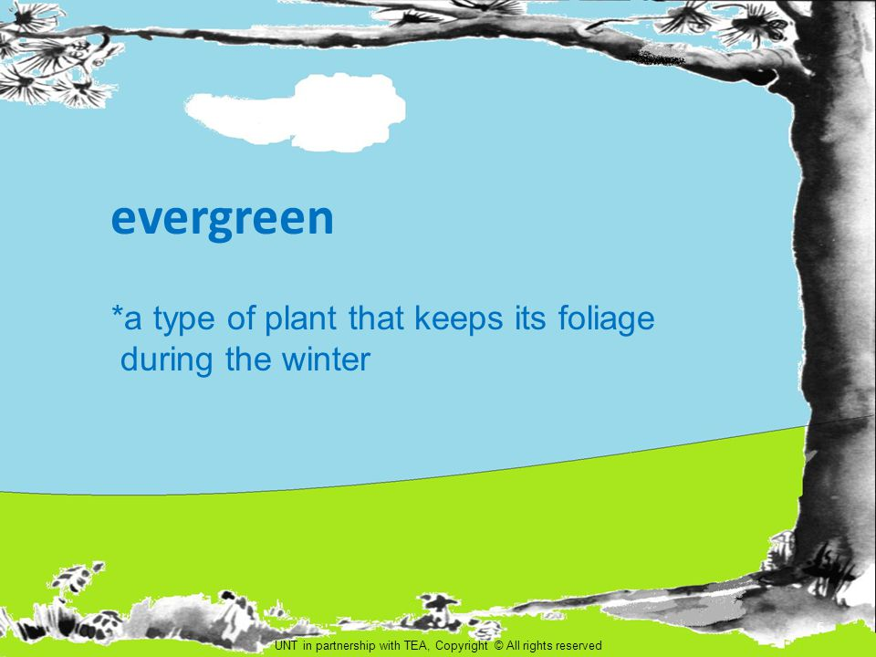 evergreen *a type of plant that keeps its foliage during the winter UNT in partnership with TEA, Copyright © All rights reserved 6