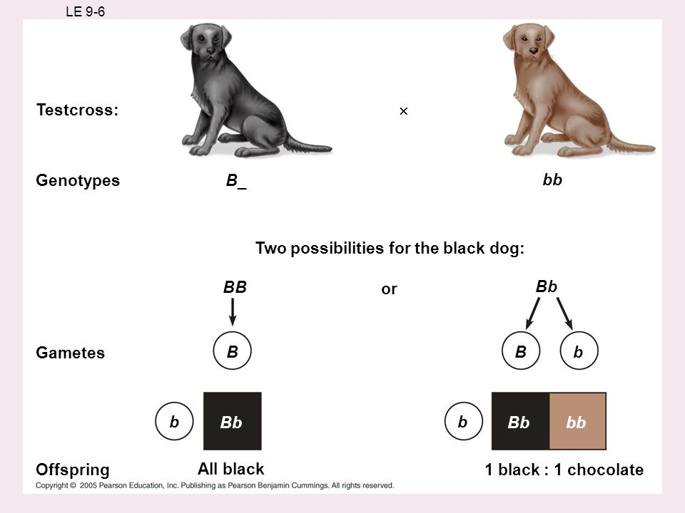 LE 9-6 Testcross: Genotypes Gametes Offspring All black 1 black : 1 chocolate Two possibilities for the black dog: or B_ bb Bb Bb bb B BB Bb bb