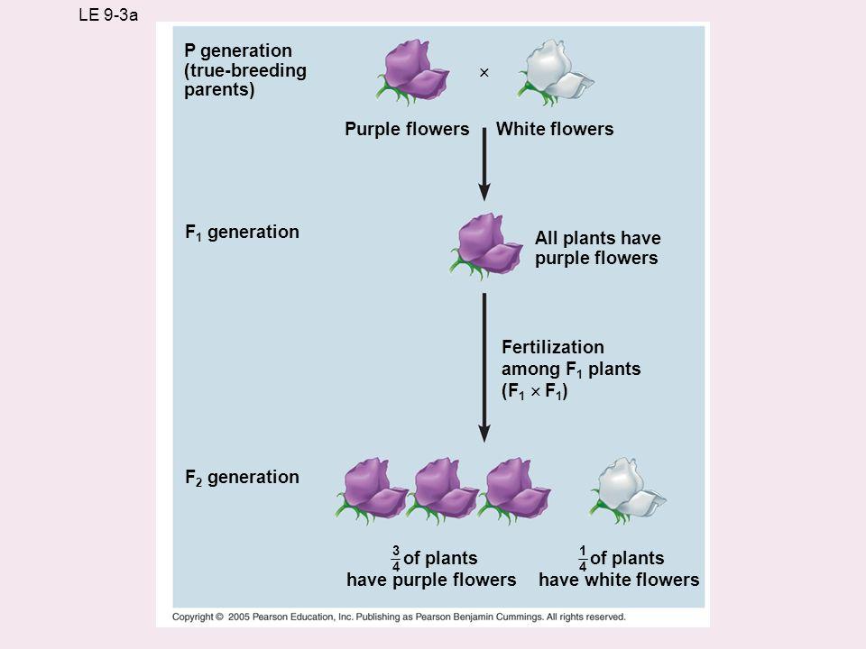 LE 9-3a P generation (true-breeding parents) Purple flowersWhite flowers All plants have purple flowers F 1 generation F 2 generation Fertilization am