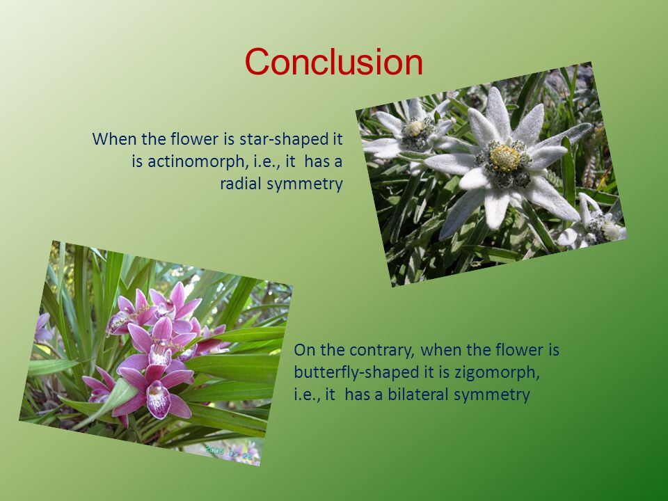 Conclusion When the flower is star-shaped it is actinomorph, i.e., it has a radial symmetry On the contrary, when the flower is butterfly-shaped it is zigomorph, i.e., it has a bilateral symmetry