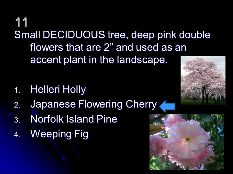 11 Small DECIDUOUS tree, deep pink double flowers that are 2 and used as an accent plant in the landscape. 1. Helleri Holly 2. Japanese Flowering Cher