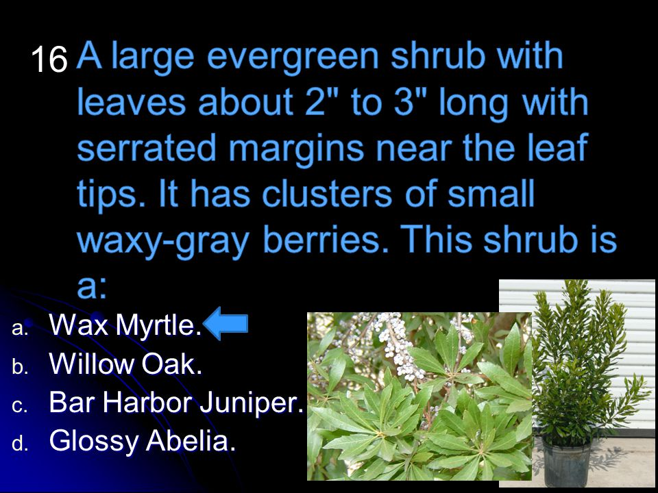 a. Wax Myrtle. a. Wax Myrtle. b. Willow Oak. b. Willow Oak. c. Bar Harbor Juniper. c. Bar Harbor Juniper. d. Glossy Abelia. 16