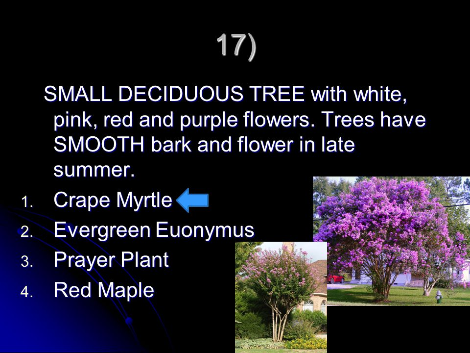17) SMALL DECIDUOUS TREE with white, pink, red and purple flowers. Trees have SMOOTH bark and flower in late summer. SMALL DECIDUOUS TREE with white,
