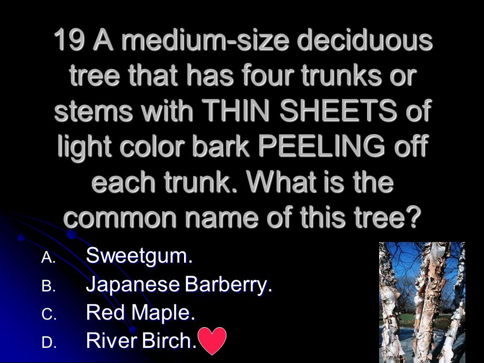 19 A medium-size deciduous tree that has four trunks or stems with THIN SHEETS of light color bark PEELING off each trunk. What is the common name of