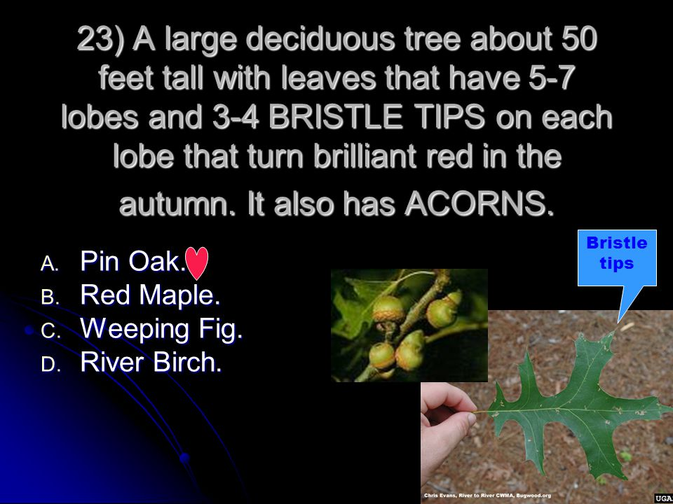 23) A large deciduous tree about 50 feet tall with leaves that have 5-7 lobes and 3-4 BRISTLE TIPS on each lobe that turn brilliant red in the autumn.
