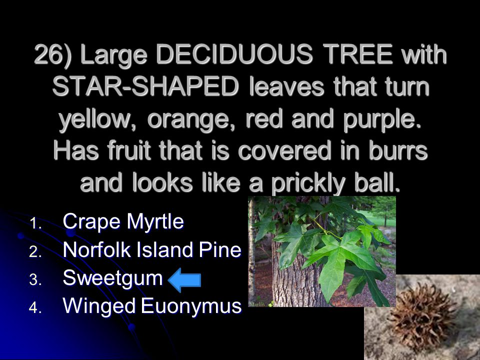 26) Large DECIDUOUS TREE with STAR-SHAPED leaves that turn yellow, orange, red and purple. Has fruit that is covered in burrs and looks like a prickly